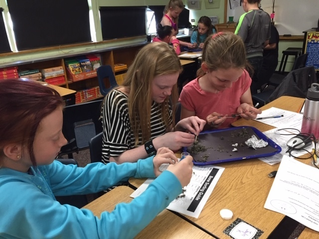 Two students dissecting owl pellets over a tray.